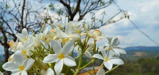 Sacuanjoche, National Flower of Nicaragua