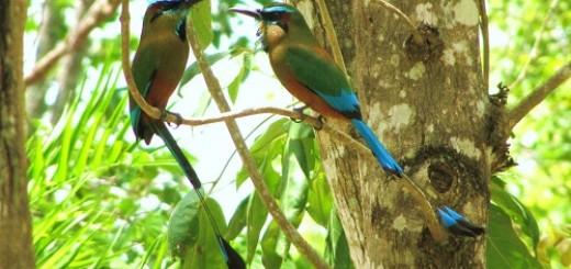Guardabarranco, National Bird of Nicaragua